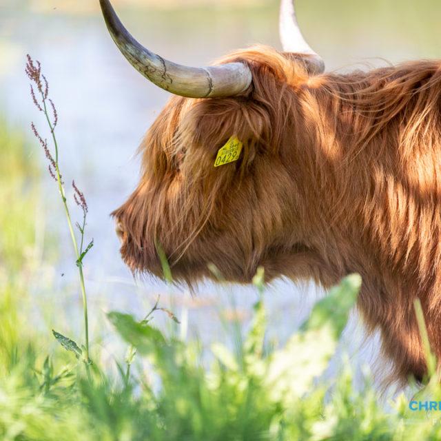 Schotse Hooglanders terug in De Landerije
